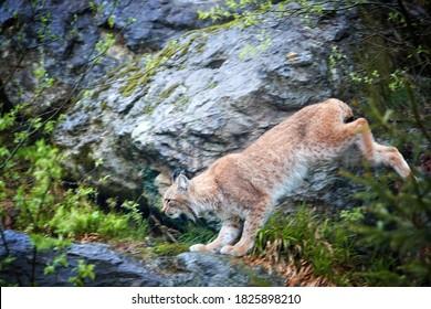 Eurasian Lynx, Lynx lynx jumping from rock. Protected animal. Europe, Sumava mountains biotope.