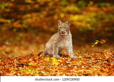 The Eurasian lynx (Lynx lynx), also known as the European or Siberian lynx in autumn colors.