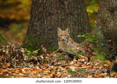 The Eurasian lynx (Lynx lynx), also known as the European or Siberian lynx in autumn colors. European cat peeks from behind the tree.