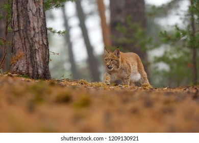 The Eurasian lynx (Lynx lynx), also known as the European or Siberian lynx in autumn colors in the pine forest.