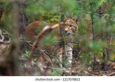 The Eurasian lynx (Lynx lynx), also known as the European  or Siberian lynx in autumn colors. Cat peeks from behind the tree.
