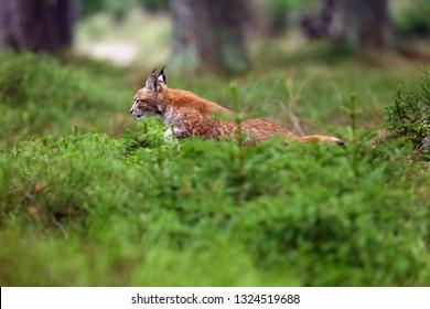 The Eurasian lynx (Lynx lynx), also known as the European or Siberian lynx in autumn colors. The kitten runs through the woods.