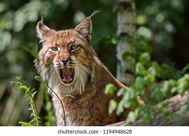 Eurasian Lynx (Lat. Lynx lynx) is resting. On the ears are long tassels. The Eurasian lynx is dwells to Siberia, Central, East, and Southern Asia, North, Central and Eastern Europe.
