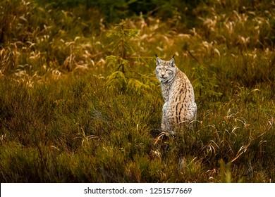 Eurasian lynx (Lynx lynx), looking back