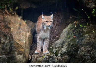Eurasian Lynx, Lynx lynx looking from rock cave while raining. Protected animal. Europe, Sumava mountains biotope.