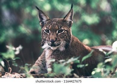 Eurasian lynx lying down between vegetation in woodland.