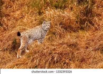 Eurasian lynx (Lynx lynx)is walking at last year old grass