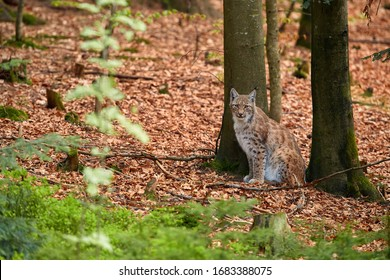 Eurasian lynx,  male in spring forest, sitting on the ground covered with orange leaves. Lynx hidden in its environment. Protected animal. Europe, mountains biotope.