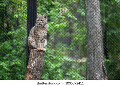 Eurasian lynx (Lynx lynx) is a medium-sized cat native to European and Siberian forests.