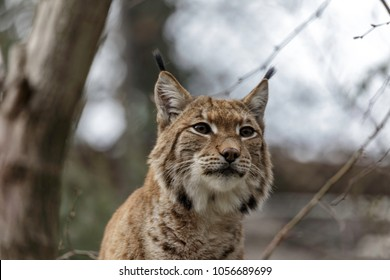 The Eurasian lynx (Lynx lynx) , a medium-sized wild cat native to Siberia