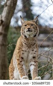 The Eurasian lynx (Lynx lynx) , a medium-sized wild cat native to Siberia