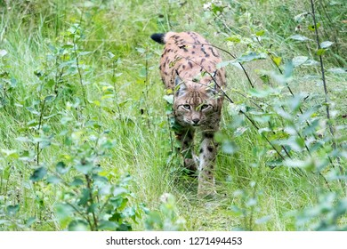 "Eurasian lynx in the national park ""Bayerischer Wald"""