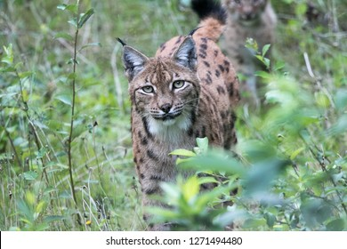 "Eurasian lynx in the national park ""Bayerischer Wald"""
