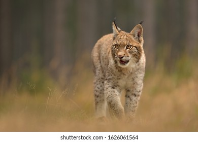 Eurasian Lynx ( lynx lynx) in the natural environment . Taken in Czech Republic