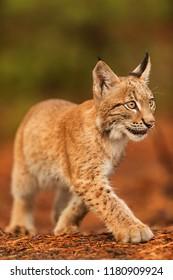 Eurasian lynx (Lynx lynx), nice cube verx close up