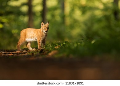 Eurasian lynx (Lynx lynx), nice light to body with green background with backlight
