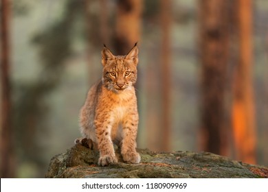 Eurasian lynx (Lynx lynx), nice portrait with early morning sun shine