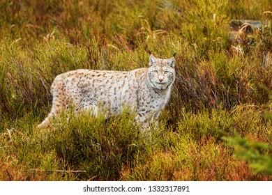 Eurasian lynx (Lynx lynx) nice portrait in the wilderness