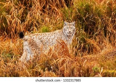 Eurasian lynx (Lynx lynx) in the old grass
