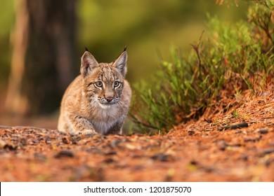 Eurasian lynx (Lynx lynx) is plying to hunt