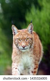 The Eurasian lynx (Lynx lynx), portrait. Eurasian lynx portrait. Cat portrait insite the greenery.