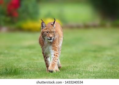 The Eurasian lynx (Lynx lynx), portrait. Eurasian lynx in the garden.