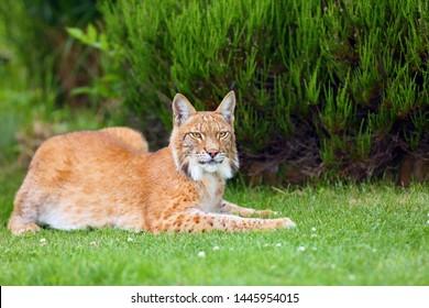The Eurasian lynx (Lynx lynx), portrait. Eurasian lynx in the garden. Cat portait with grenn bacground. Lying big cat in the garden.