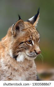 The Eurasian lynx (Lynx lynx), portrait. Subadult cat portrait.