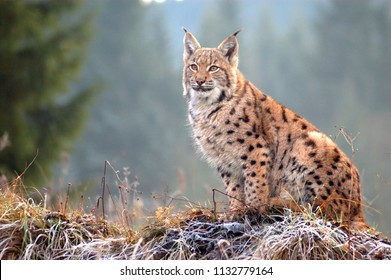 The Eurasian lynx (Lynx lynx) is a precious beast of the Slovak Carpathians