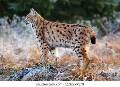 The Eurasian lynx (Lynx lynx) is a precious beast of the Slovak Carpathians