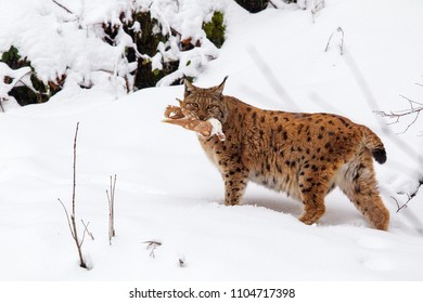 Eurasian lynx (Lynx lynx) with prey in the mouth in the snow in the animal enclosure in the Bavarian Forest National Park, Bavaria, Germany.