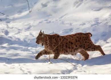 Eurasian lynx (Lynx lynx) running through the snow