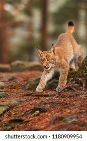 Eurasian lynx (Lynx lynx), runs in the forest