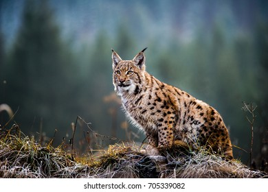 Eurasian Lynx sitting on autumn meadow.