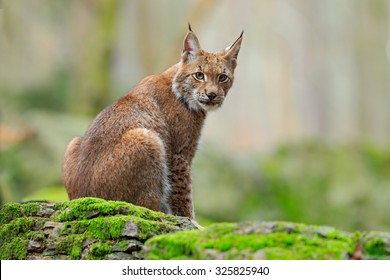 Eurasian Lynx sitting on the mossy stone in forest.