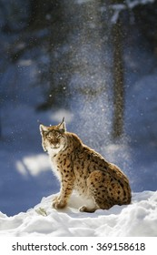Eurasian lynx sitting on snow  with snowflakes in the blue background..
