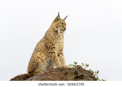 Eurasian lynx (Lynx lynx), sitting on top of a rock at sunset, Cabarceno Natural Park, Cantabria, Spain