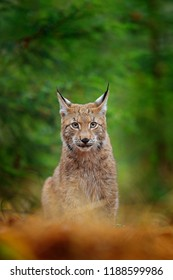 Eurasian lynx sitting. Wild cat from Sweden. Bobcat among the trees. Hunting carnivore in autumn grass. Lynx in green forest. Wildlife scene from nature, Europe. Animal behaviour.