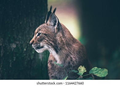 Eurasian lynx sitting in woodland. Side view.
