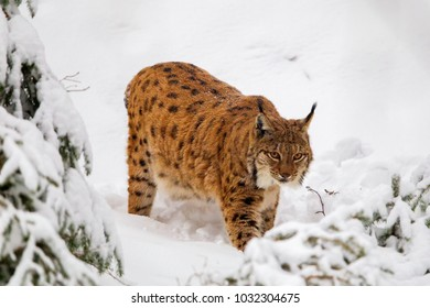 Eurasian lynx (Lynx lynx) in the snow in the animal enclosure in the Bavarian Forest National Park, Bavaria, Germany.