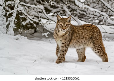 Eurasian Lynx (Lynx lynx) in the snow-covered taiga. On the ears are long tassels. The Eurasian lynx is dwells to Siberia, Central, East, and Southern Asia, North, Central and Eastern Europe.