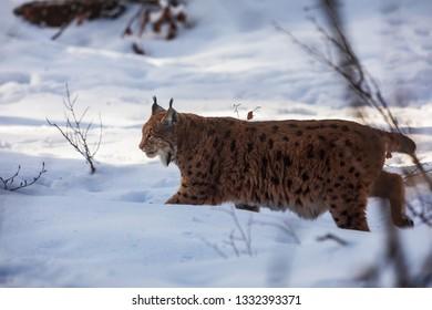 Eurasian lynx (Lynx lynx) at the snowy forest