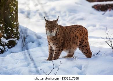 Eurasian lynx (Lynx lynx) at snowy scenery