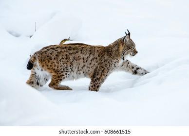 Eurasian Lynx - Lynx lynx, Switzerland