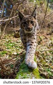 Eurasian lynx (Lynx lynx) walking in carpathian forrest, Slovakia