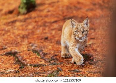 Eurasian lynx (Lynx lynx) is walking in the forest