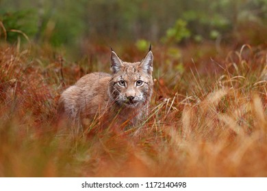 Eurasian lynx walking in grass. Wild cat from Germany. Bobcat among the trees. Hunting carnivore in autumn habitat. Lynx in dark forest. Wildlife scene from nature, Europe.
