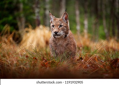 Eurasian lynx walking. Wild cat from Germany. Bobcat among the trees. Hunting carnivore in autumn grass. Lynx in green forest. Wildlife scene from nature, Poland, Europe.