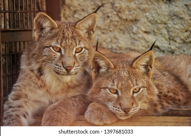 The Eurasian lynx is wild cat occurring from Central, Eastern and Northern Europe. Also can be seen in Asia and Siberia. Lynx lynx is medium sized cat liveing in boreal forests. Two siblings