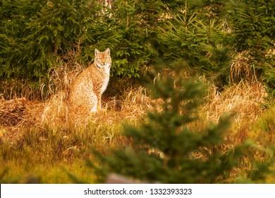 Eurasian lynx (Lynx lynx) at wilderness